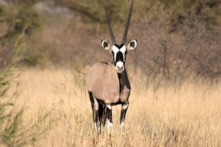 Gemsbok in Central Kalahari Game Reserve Botswana