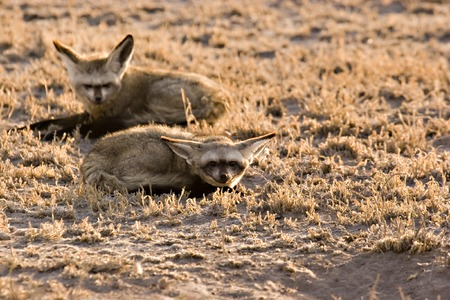 Bat-eared fox in Central Kalahari Game Reserve Botswana Stock Photo