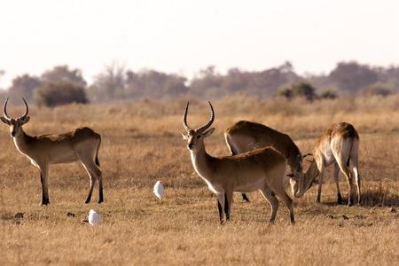 Lechwes in Moremi Game Reserve Botswana Stock Photo