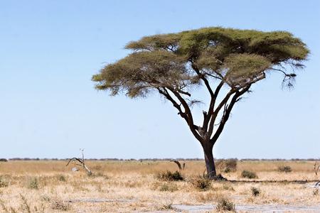acacia tree: Acacia tree in Chobe Game Reserve Botswana (Savute Marsh Road) Stock Photo