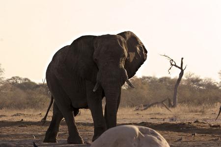 waterhole: African Elephant in Savute (Chobe) protecting a waterhole