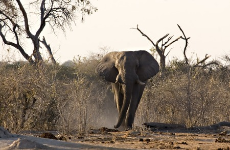 African Elephant in Savute (Chobe Game Reserve Botswana) Stock Photo