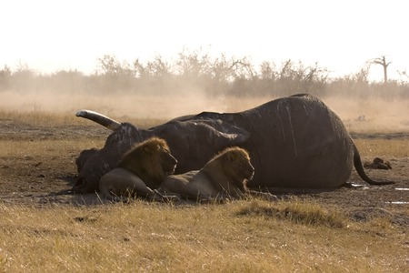 Lions at the carcass of an elephant they killed in Savute (Chobe, Botswana)
