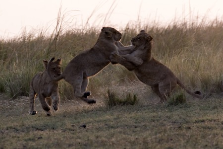 Lion cubs play-fighting in Chobe Game Reserve Stock Photo