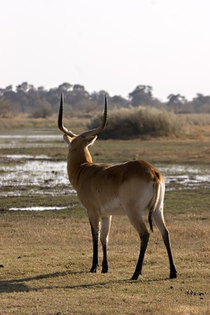 Lechwe in Moremi Game Reserve Botswana