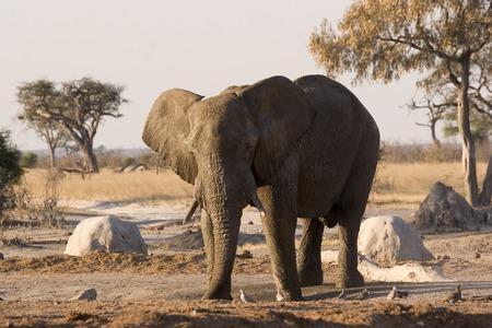 Elephant taking a mud bath at a waterhole in Savute (Chobe, Botswana)