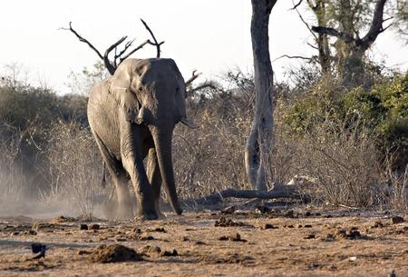 Elephant in Savute (Chobe Game Reserve Botswana)