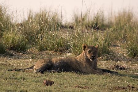 Lion cub in Chobe Game Reserve Botswana Stock Photo - 1599155