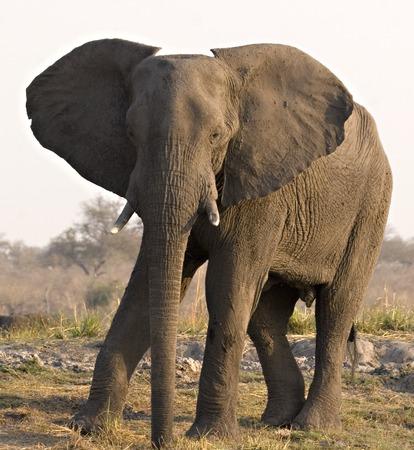 chobe: African Elephant on Chobe Riverbank (Botswana) Stock Photo