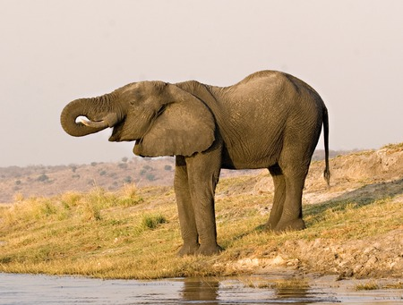 African elephant drinking from Chobe River in Botswana