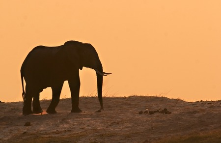 Elephant in the sunset on the Chobe Riverfront Stock Photo - 1599131