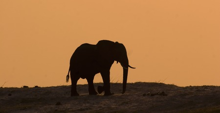 Elephant Silhouette on Chobe Riverbank in Botswana Stock Photo - 1599143