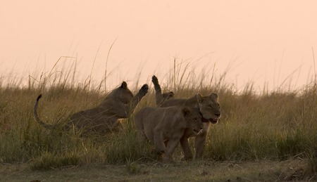 lion pride playing on the riverbank in Chobe Game Reserve