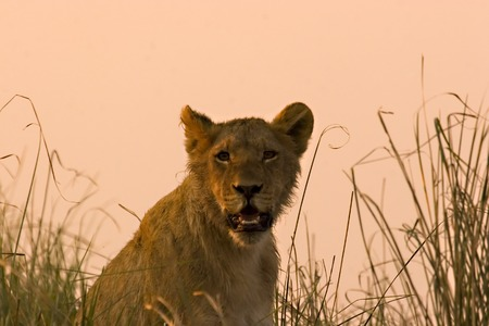 Lion cub during a sunset in Chobe Game Reserve Botswana Stock Photo