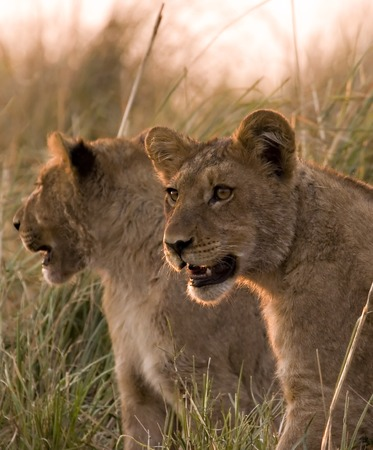 Lion cubs in Chobe Game Reserve in Botswana Stock Photo - 1599139