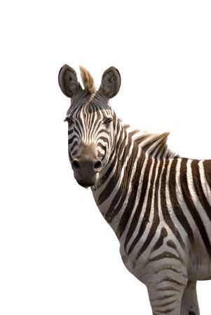Zebra isolated on white (Zebra at Chobe Game Reserve) Stock Photo