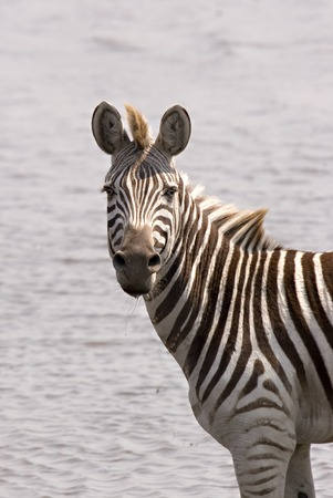 Zebra at the waters edge in Chobe Game Reserve Stock Photo