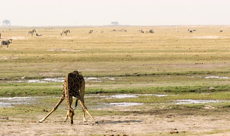 Giraffe drinking on Chobe riverfront in Botswana