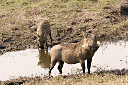 Warthogs at the riverfront in Chobe Game Reserve Stock Photo - 1599184