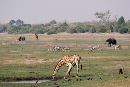 riverfront: Chobe Riverfront landscape teaming with wildlife