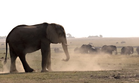 Elephant taking a dustbath in Chobe Game Reserve