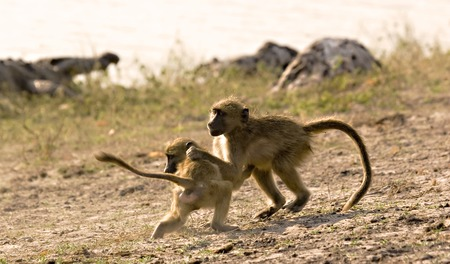 Two young baboons fighting in Chobe Game Reserve