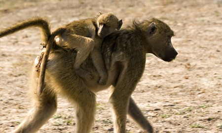 baboon on mothers back in Chobe Game Reserve