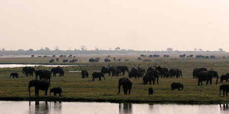 Herds of elephants on the riverbank of the Chobe River in Botswana