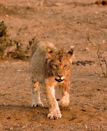Lion cub in Tuli Block Reserve in Botswana Stock Photo - 1599153
