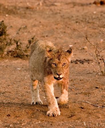Lion cub in Tuli Block Reserve in Botswana Stock Photo - 1599153