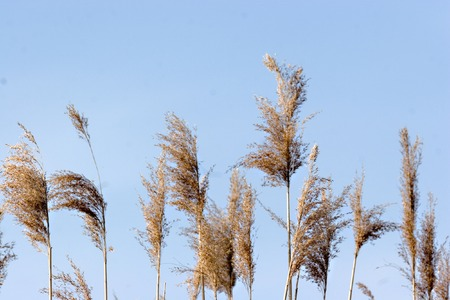 Reeds blowing in the wind in the Biesbosch (Netherlands) photo