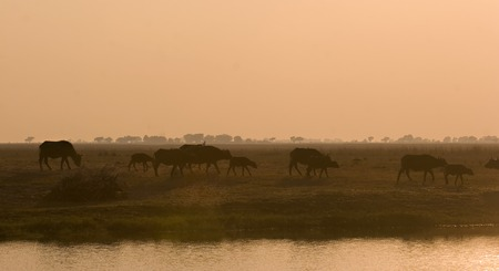 Buffaloes walking along the Chobe riverfront during sunset Stock Photo - 1599138