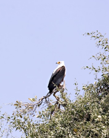 African Fish Eagle in Chobe Game Reserve