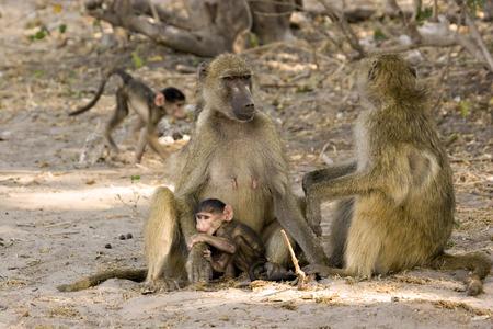 Baboon  in Chobe Game Reserve in Botswana