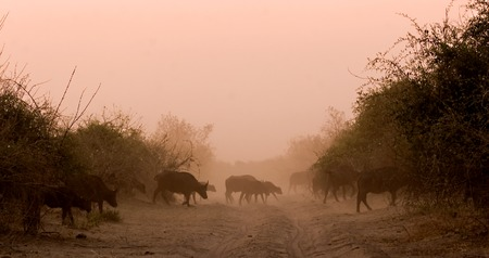 Herd of buffaloes crossing the road during a sunset Stock Photo