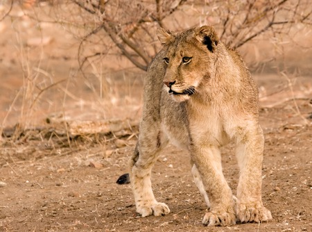 Lion cub in Tuli Block in Botswana Stock Photo