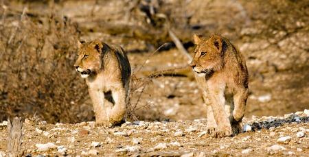 Lion cubs on the prowl in Tuli Block Botswana Stock Photo - 1599175