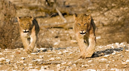 Lion cubs walking around in Tuli Block Botswana