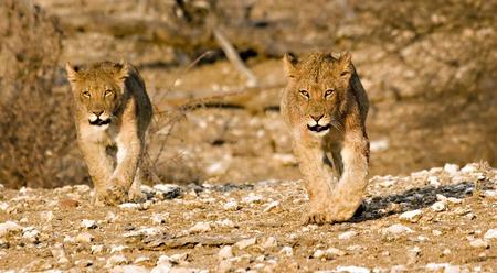 Lion cubs walking around in Tuli Block Botswana