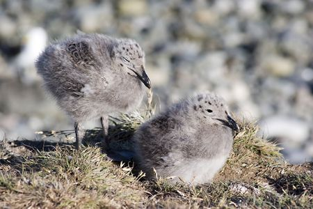 Two seagull chicks their nest
