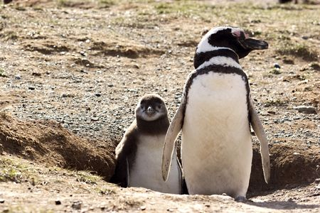 Penguin with chick in Argentina Stock Photo