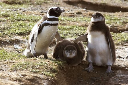 Penguin with chicks in Argentina Stock Photo