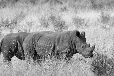 Two white rhinos in Kruger National Park Stock Photo - 2778734