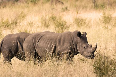 Two white rhinos in Kruger National Park