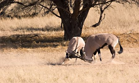 Two gemsbok fighting in Kgalagadi Transfrontier Park