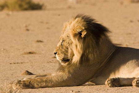 Black-maned lion in Kgalagadi Transfrontier Park