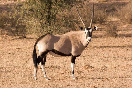 grazer: Oryx in Kgalagadi Transfrontier Park
