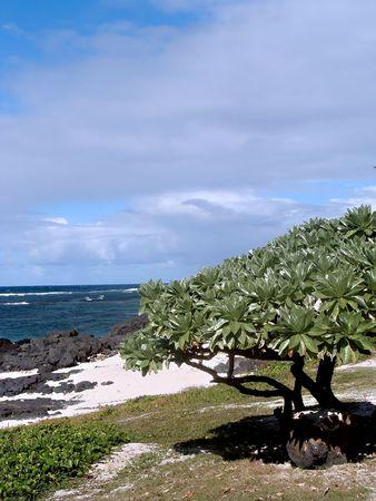 Tree on the beach in Mauritius Stock Photo