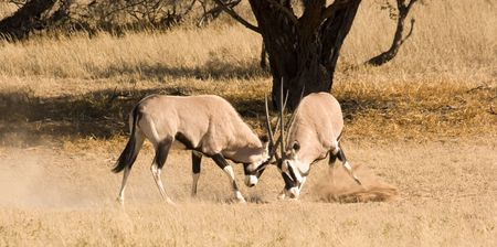 Two oryx fighting in Kgalagadi Transfrontier Park photo