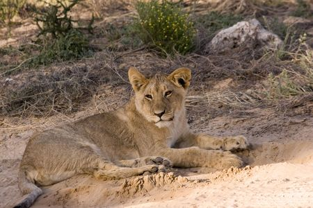 young lion in kgalagadi transfrontier park